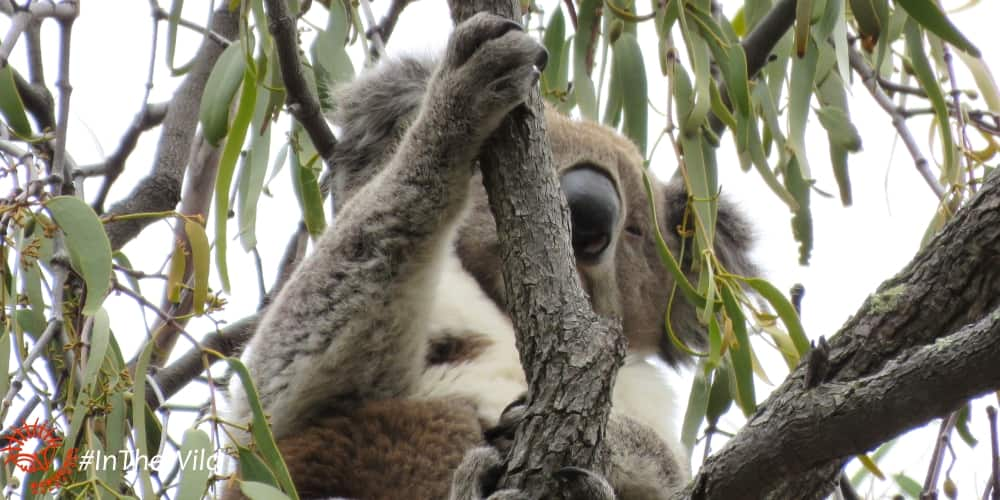 koala in You Yangs