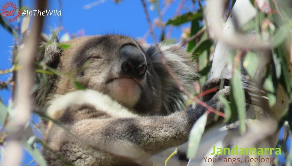 About Koala Jandamarra
