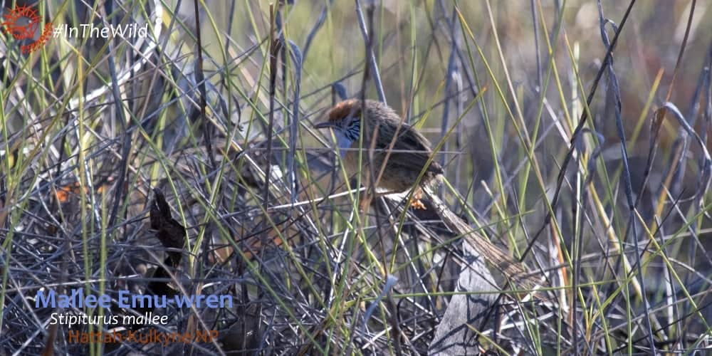 Stipiturus mallee on wildlife tour