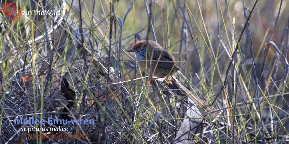 Stipiturus mallee on wildlife tour