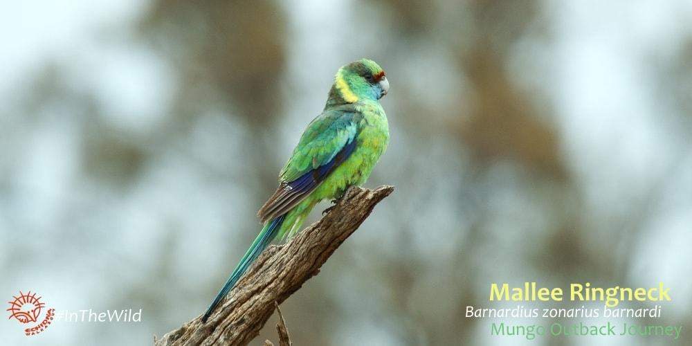 barnardius barnardi mallee wildlife tour
