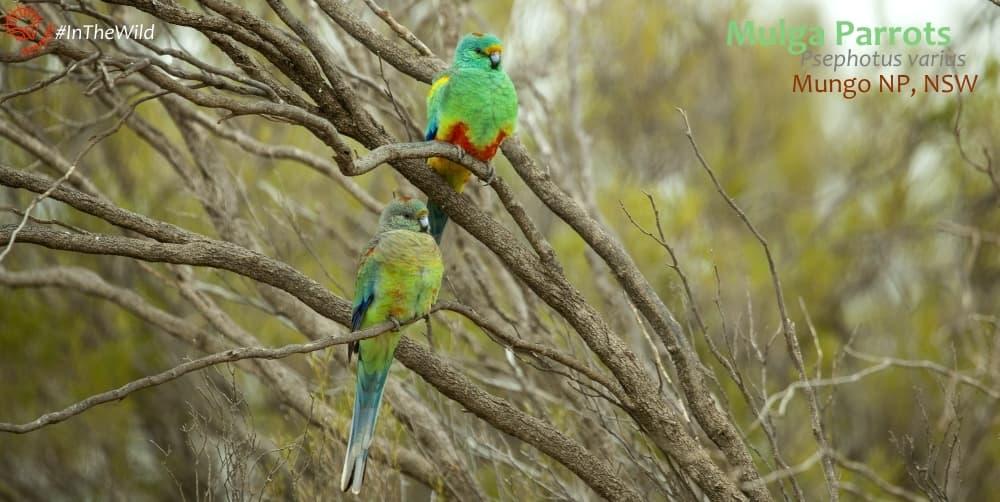 psephotus varius wildlife tour