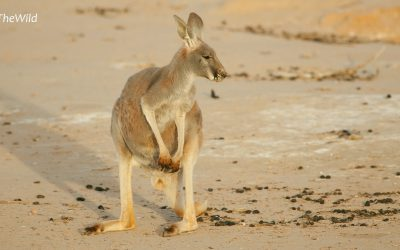 Kangaroo photography for all ages