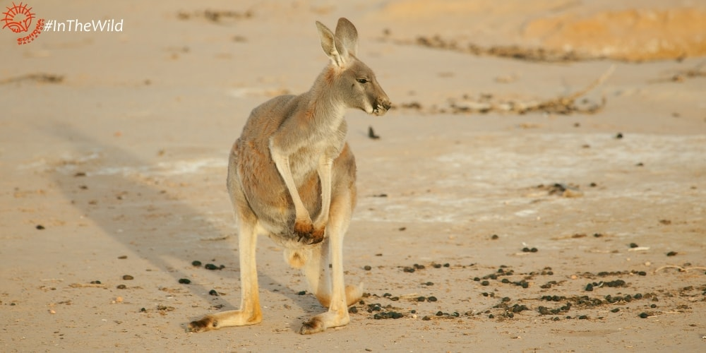Red Kangaroo photography