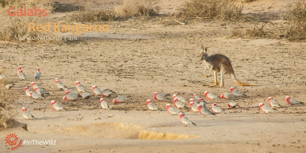 kangaroo cockatoo photography