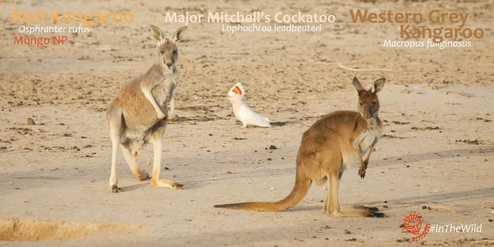 kangaroos Mungo Outback