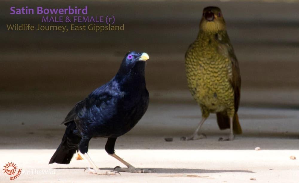 bowerbirds special Australian bird family
