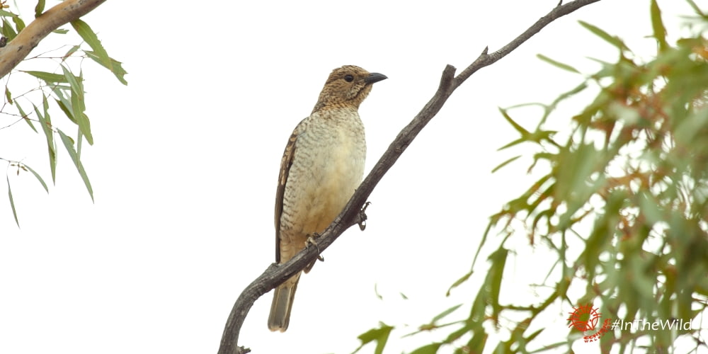 Special Birds of Australia: Spotted Bowerbird
