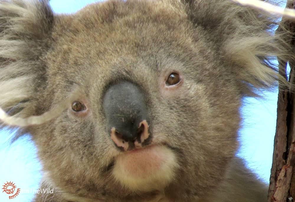 Mature male koala