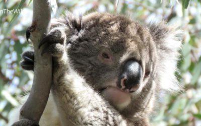 About Koala Zack
