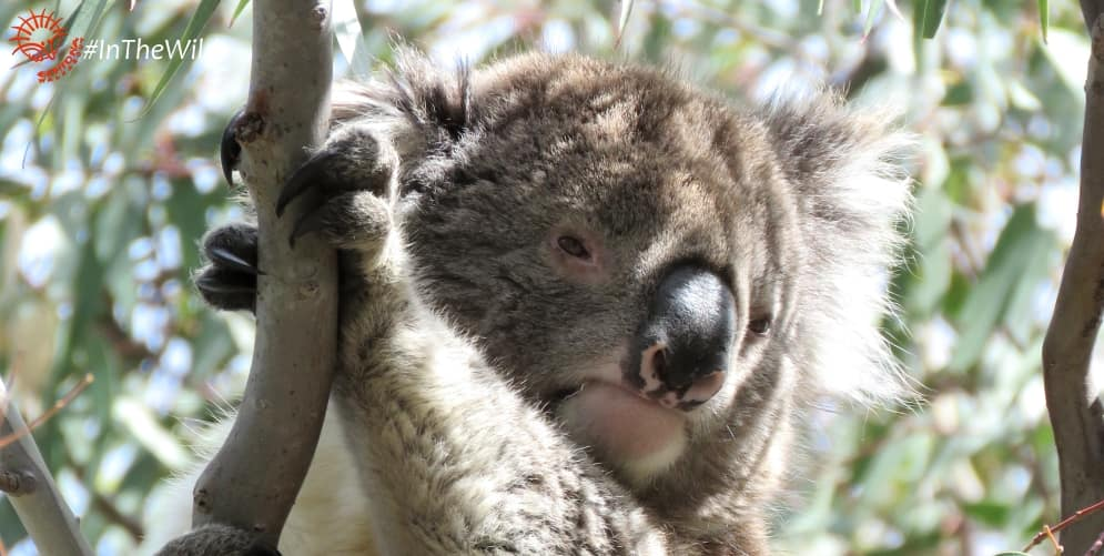 wild koalas injuries