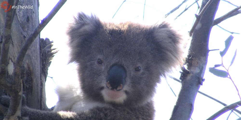 young male koala survives injury