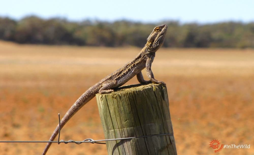 reptiles of Mungo Outback tour: Pogona vitticeps on fencepost