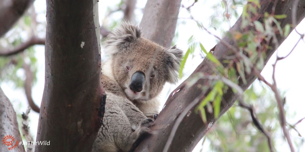 male koala You Yangs