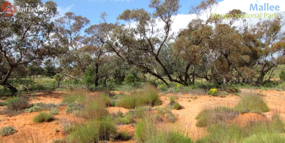 mallee forest scrub with spinifex wildlife tour