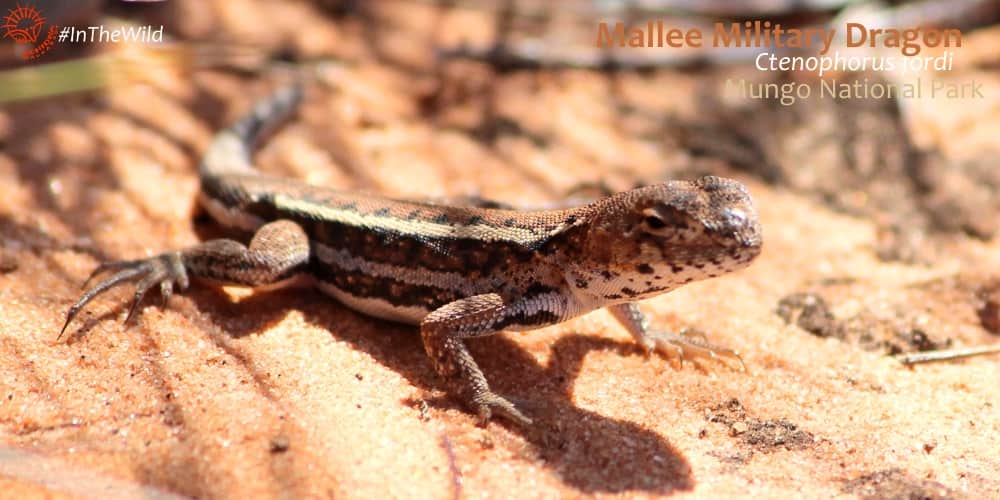 ctenophorus fordi mallee mungo tour