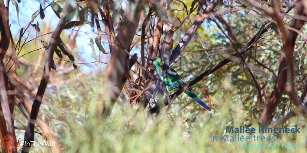 parrot amongst mallee tree branches