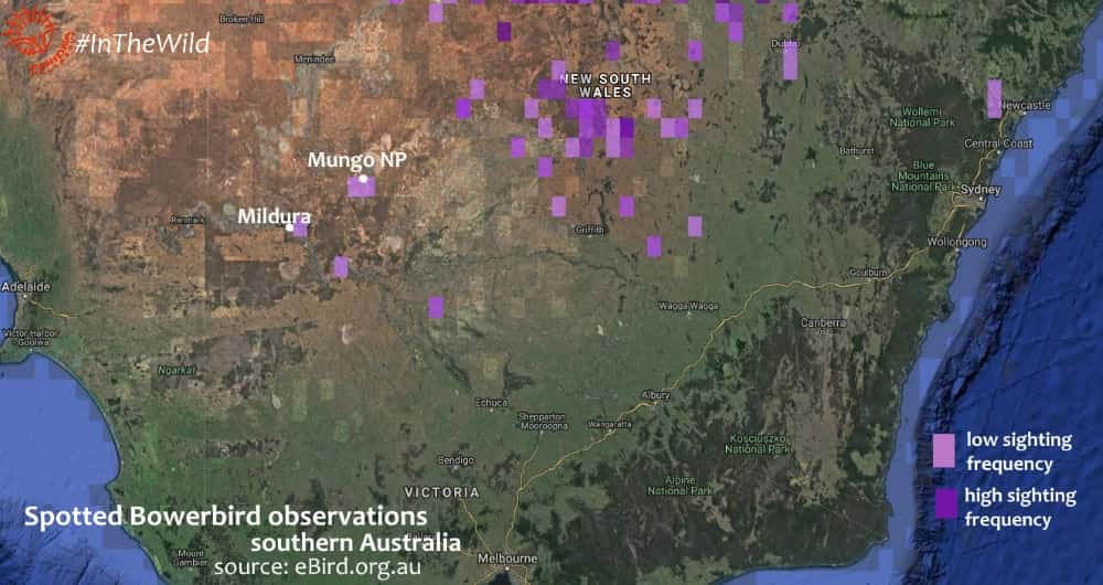 sightings of Chlamydera maculata in southern Australia map