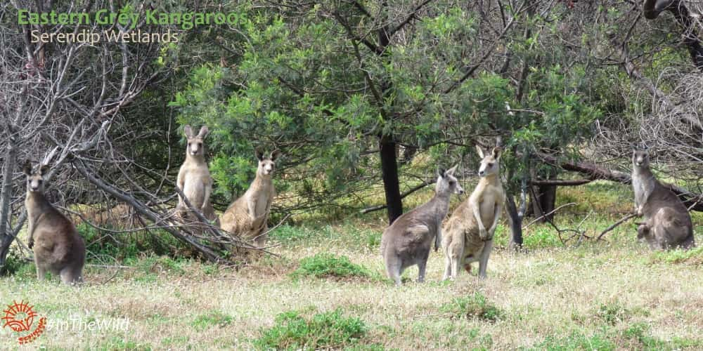 Kangaroo family tour