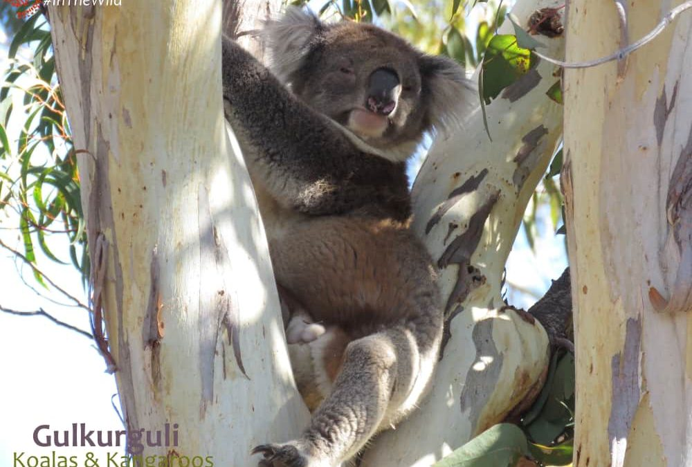 male koala in funny position