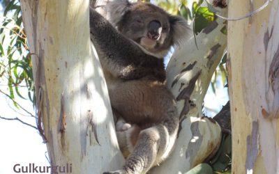 About Koala Gulkurguli