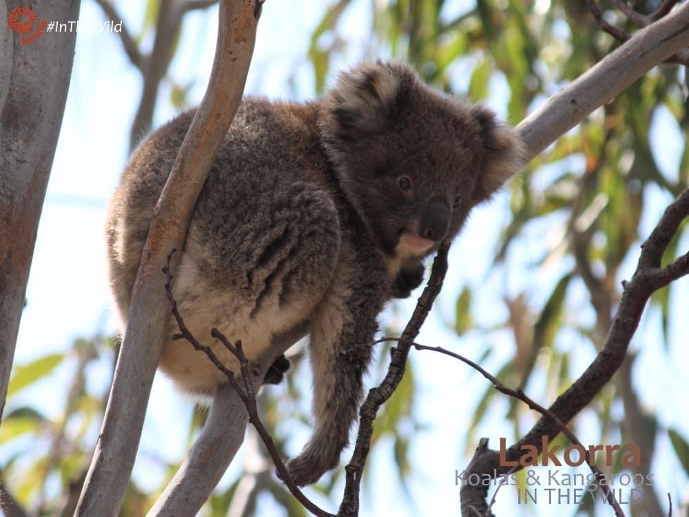 baby wild koala