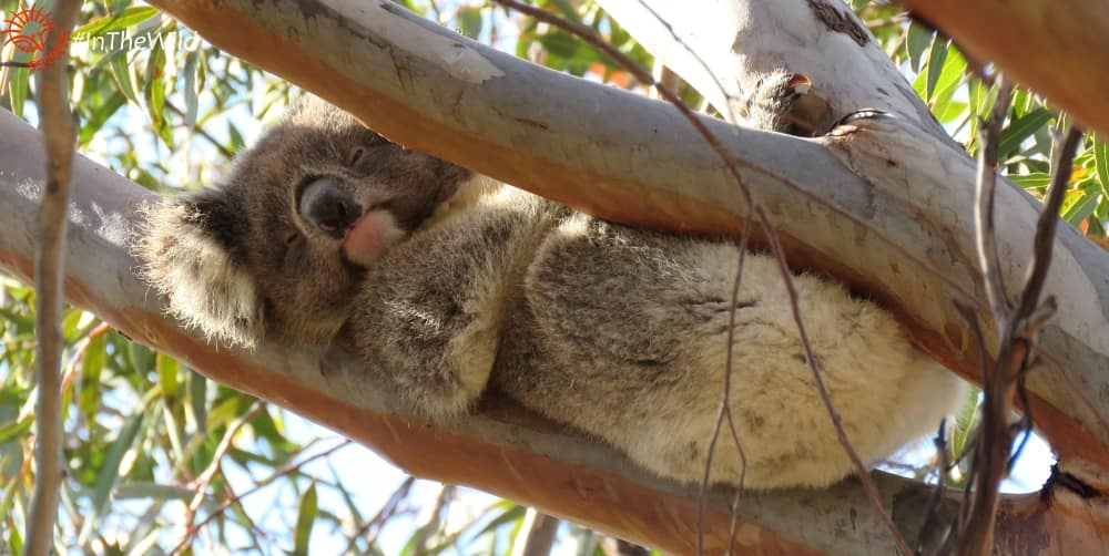 One year old female koala
