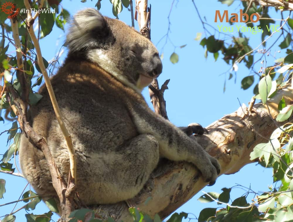 back view male koala on eucalyptus branch