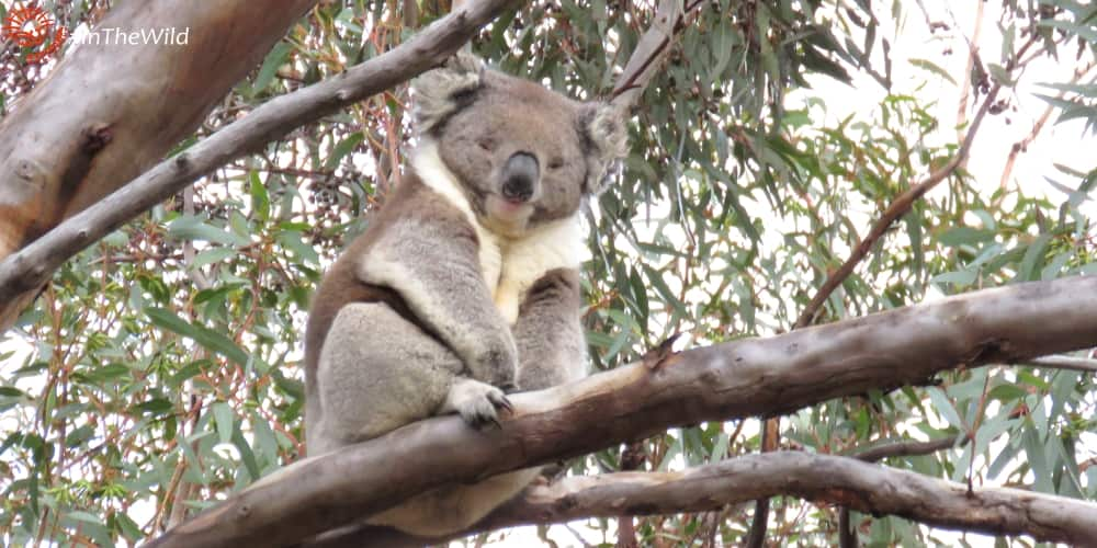 wild koala in research project Victoria