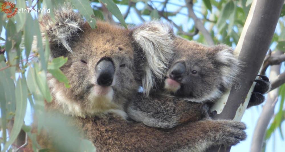 mother koala cuddling joey