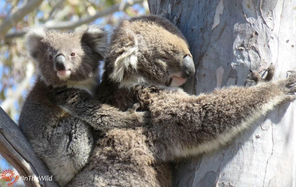 About Koala Mara