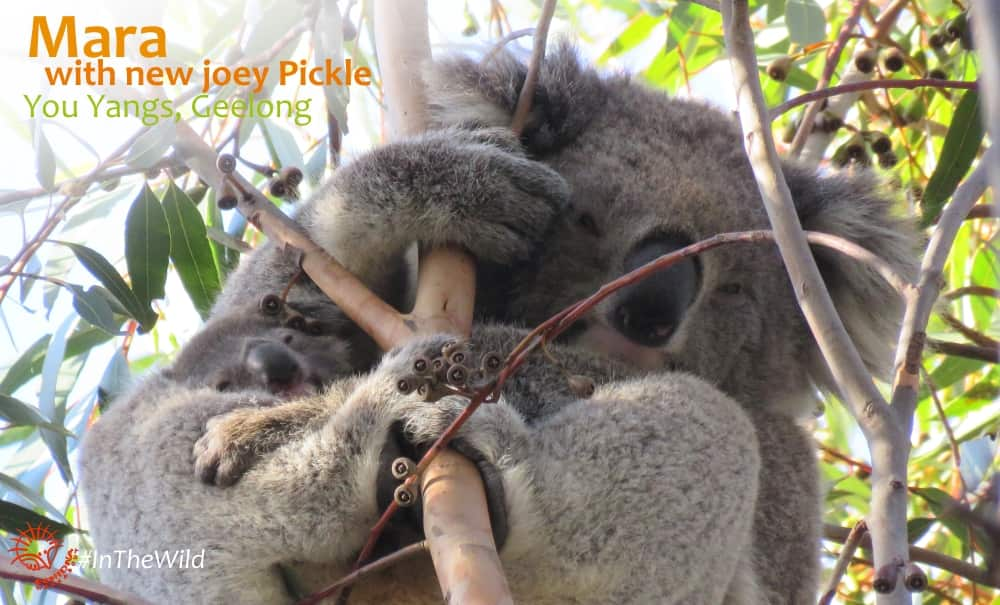 koala mum with new joey
