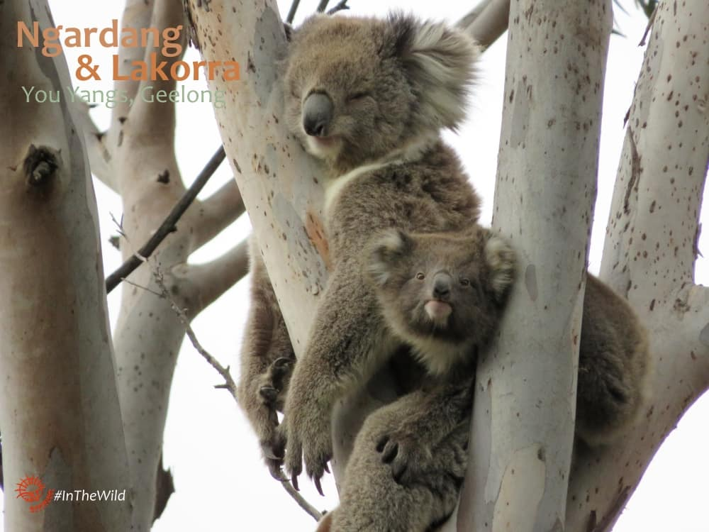 koala joey with mother
