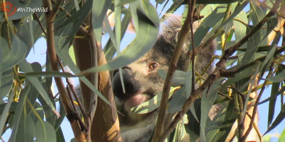 new female koala You Yangs