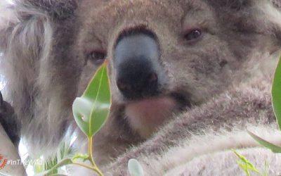 About Koala Ruth
