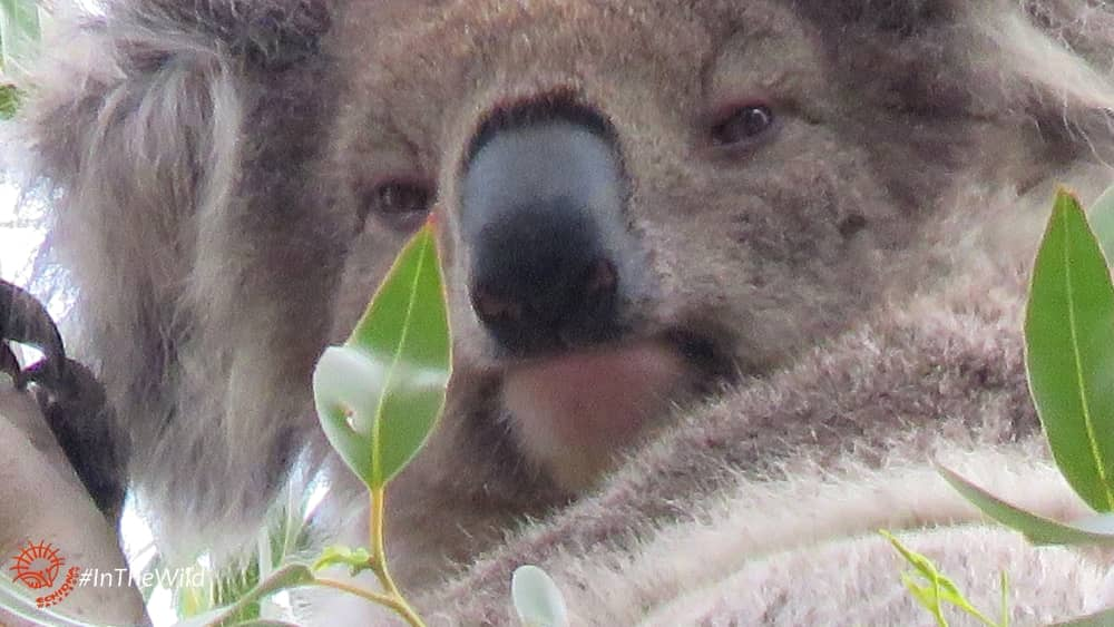 female koala face