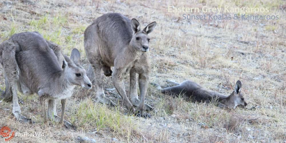 Kangaroo family mob