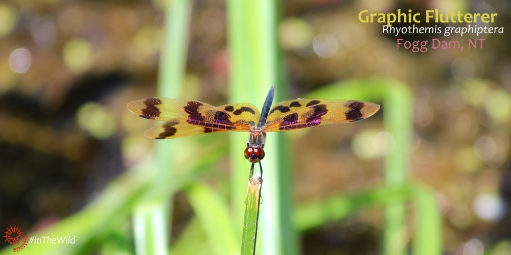 Dragonflies of Northern Australia