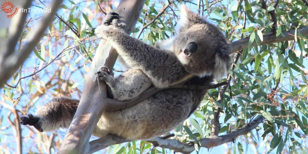 female wild koala