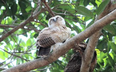 Rufous Owl on tour in Australia's Northern Territory