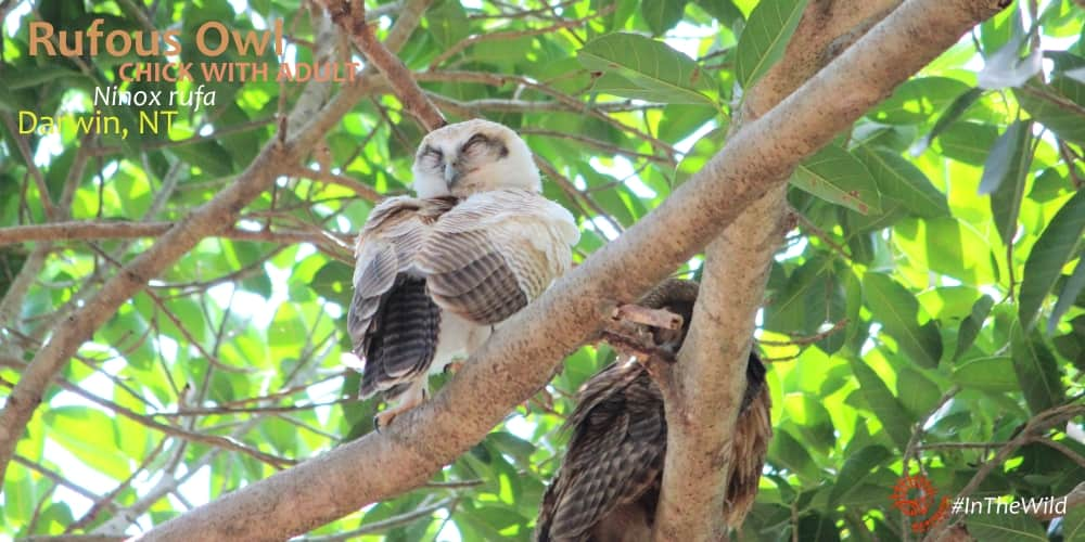 Ninox rufa owl darwin