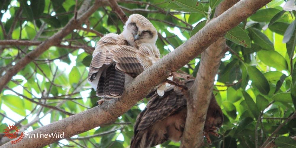 baby owl darwin northern territory