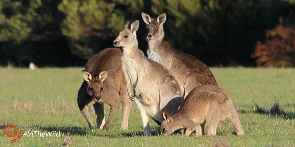 Kangaroos on wildlife tour for families