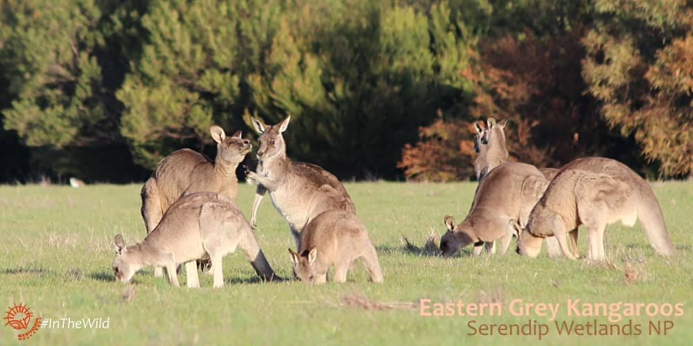 Eastern Grey Kangaroo family wildlife tour