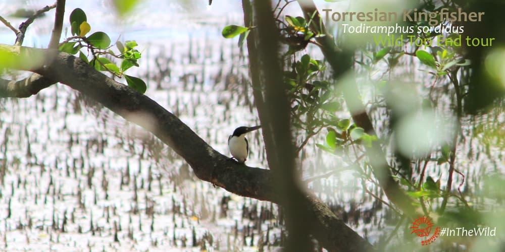 Torresian Kingfishers visit mangroves Australia