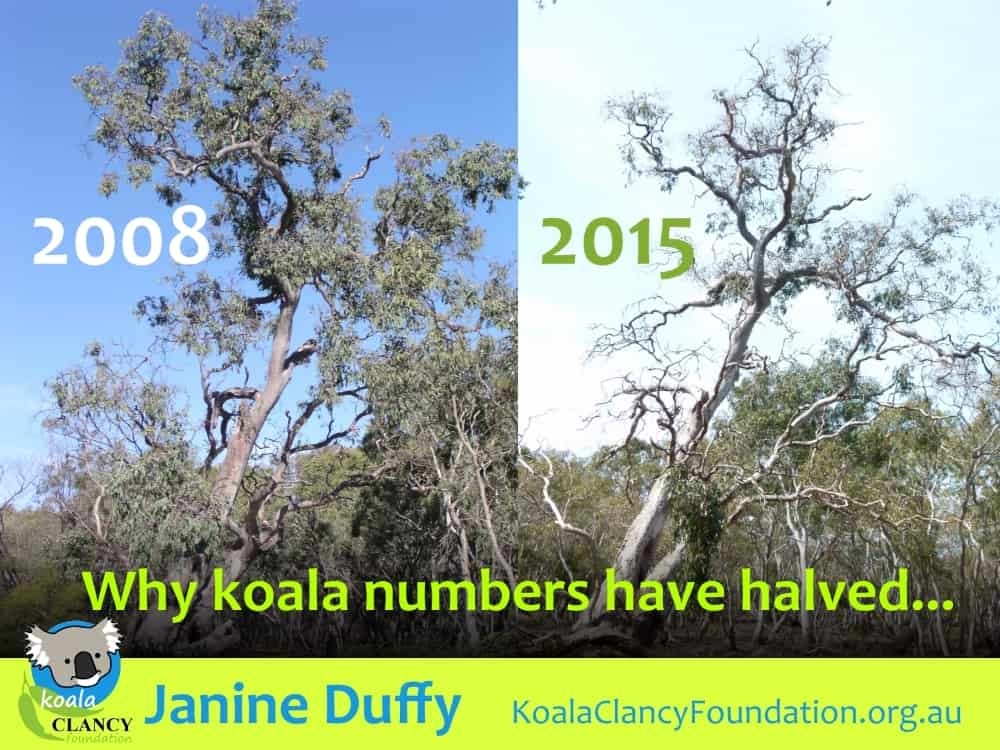 koalas need healthy trees planted