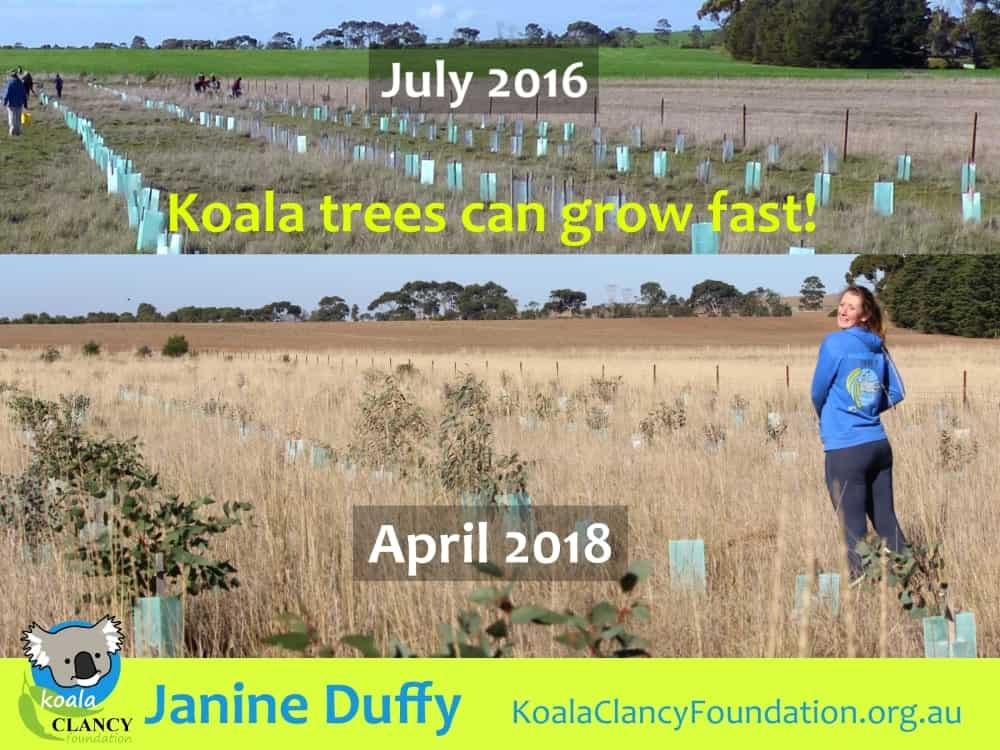 koala tree planting