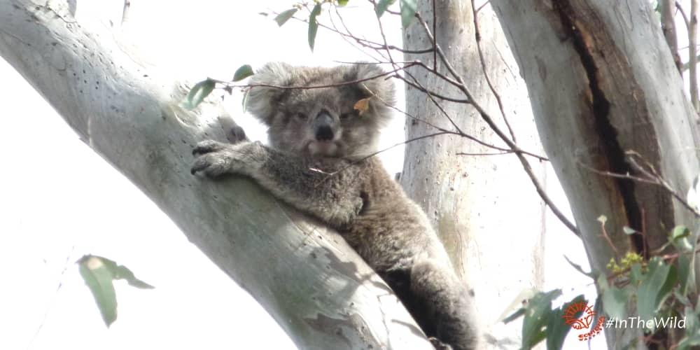 Koala Coco female as one year old