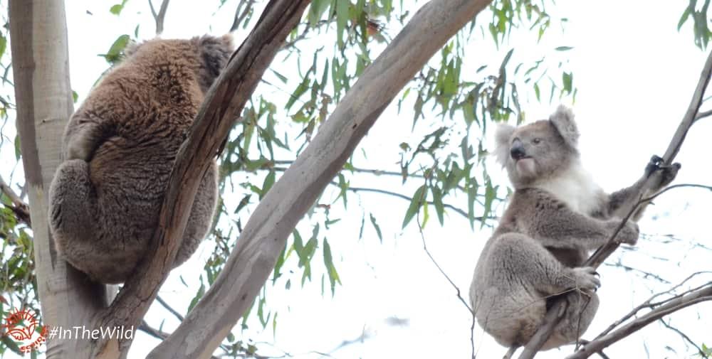 Male female wild koalas interacting
