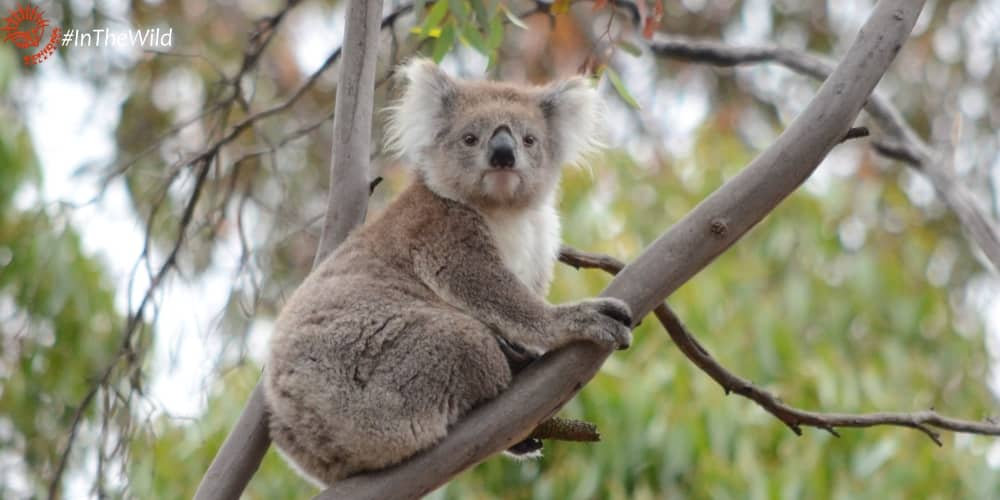 About 3 year old female koala CoCo